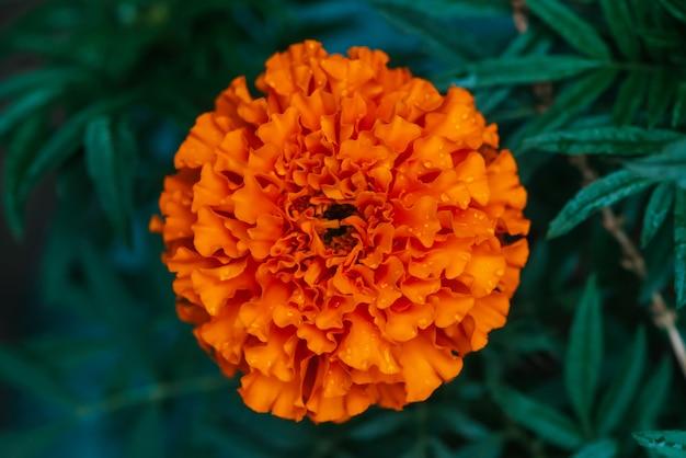 Маленький бархатный оранжевый цветок с каплями росы крупным планом.