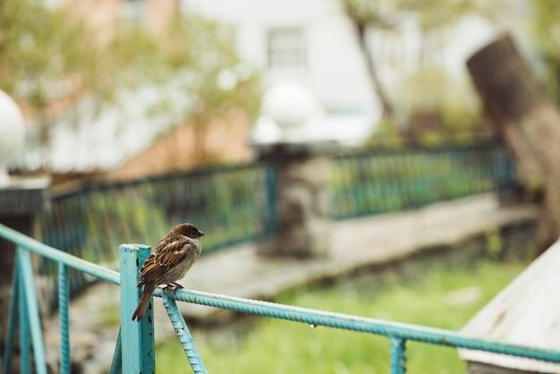 青いフェンスの上に座っている小さな若いぬれたスズメ