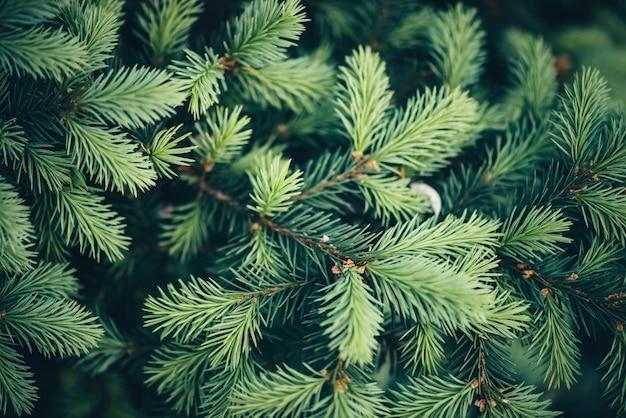 クリスマスツリーのクローズアップの美しい常緑の枝。
