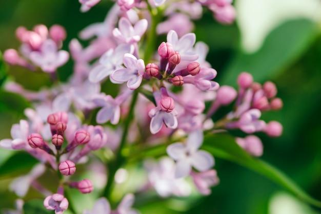 Цветы и бутоны пурпурной сирени цветут на ветке