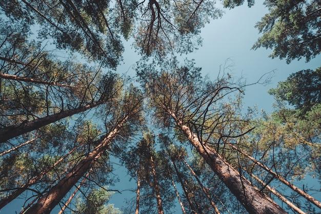 開いた空の下で背の高い松のまっすぐな幹。