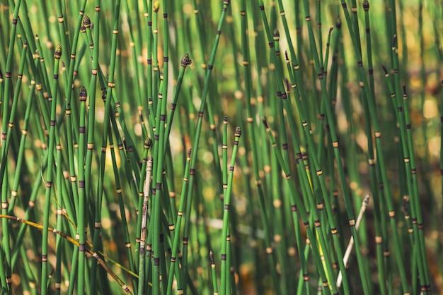 スギナ草は日光の下で成長します。