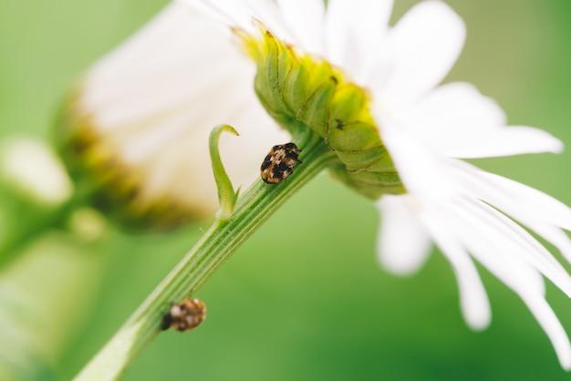 Малый пыльник ползет на стебле ромашки в макросе.