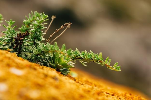 山の表面の多肉植物とコケのマクロ写真。