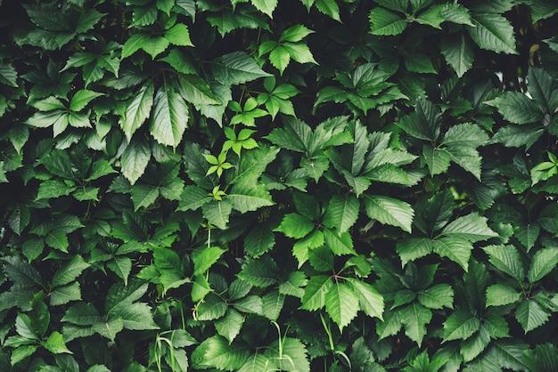 春の大きな緑の葉の生垣