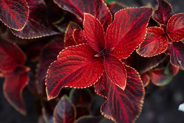マクロの巨大な展示素朴な赤いコリウス