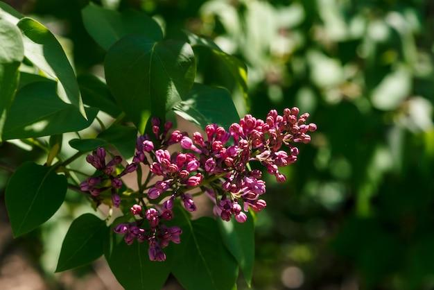 Фиолетовые цветы сирени на ветке на фоне зелени крупным планом