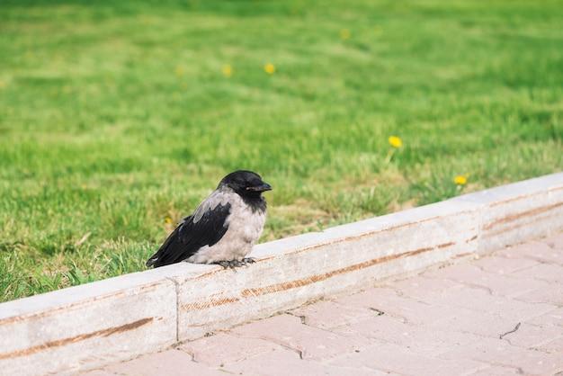 黒いカラスは、コピースペースと緑の草の背景に灰色の歩道の近くの境界線でリラックスします。