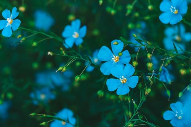緑の背景に咲く亜麻の驚くほど明るいシアンの花
