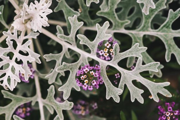マクロでサイネリアの灰色の緑の葉の中でアリッサムの美しい小さな花
