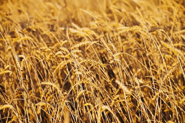 コピースペースと日光のクローズアップで金小麦のフィールド