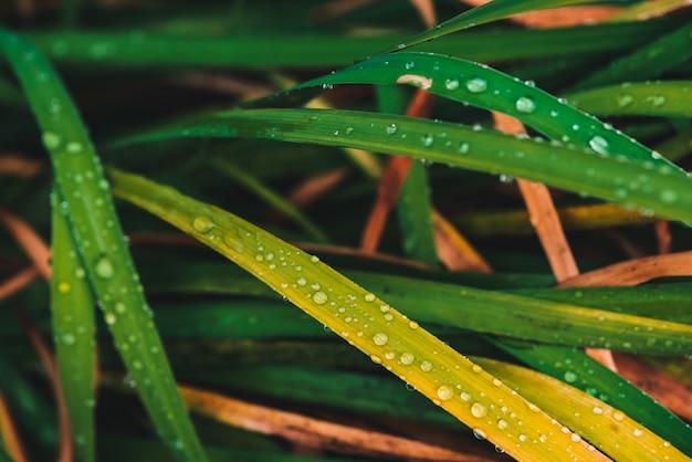 露の滴で美しい鮮やかな光沢のある緑と黄ばんだ草
