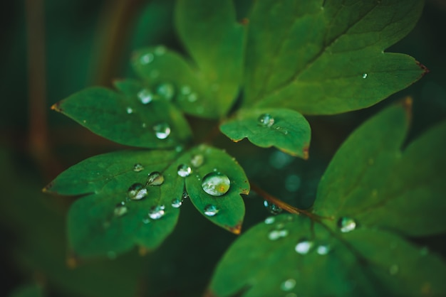 Темно-зеленые листья с каплями росы крупным планом