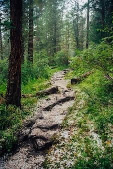暗い針葉樹林のトレイルにひょう