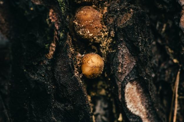 Текстура старой сосны крупным планом