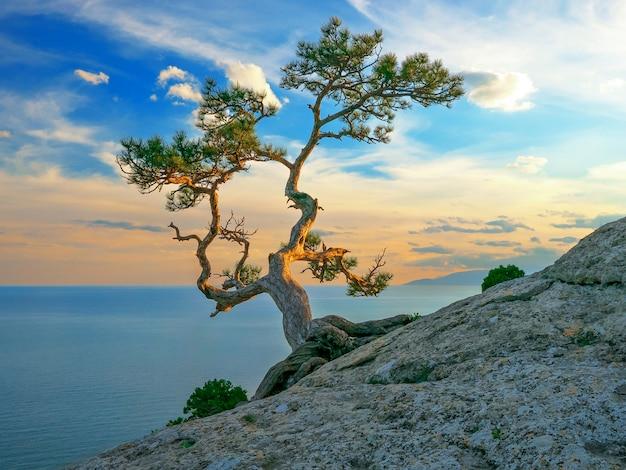 海、夕日の光の近くの岩の上の松します。