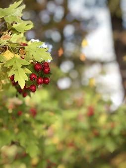 熟した果実とサンザシの枝