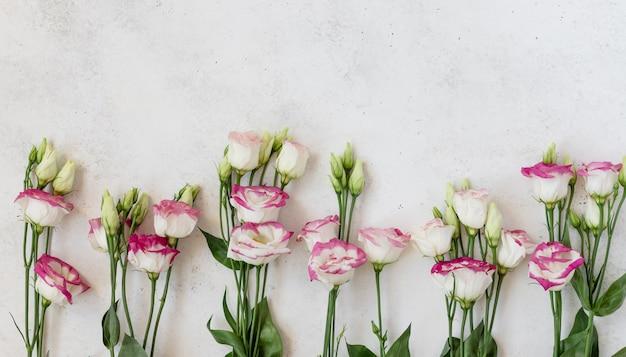 春の花のバナー、白い表面に繊細なトルコギキョウの花。トップビュー、フラットレイアウト、テキストのための場所