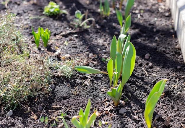 晴れた日に庭の花壇にチューリップの若い緑の芽農業用ベッドの植物の最初の芽