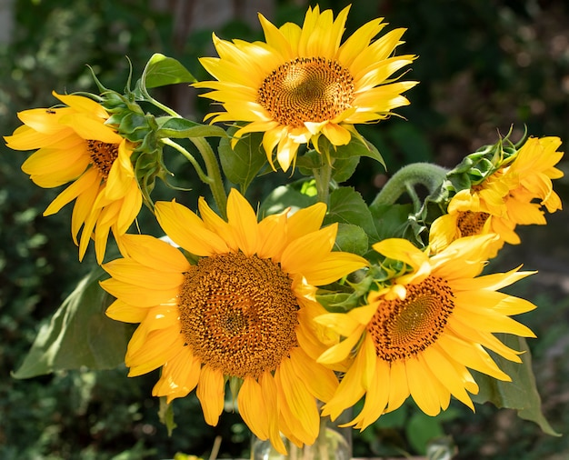 Красивый букет из желтых подсолнухов крупным планом на фоне сада