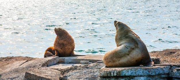 Морские львы стеллера в воде авачинской бухты на камчатке.