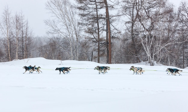 冬の風景で実行されている犬そり