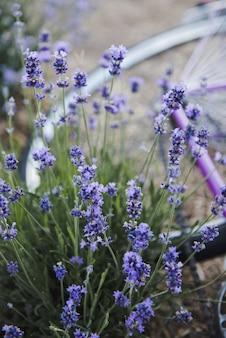 ラベンダーの花プロヴァンス、ラベンダー畑、そして紫色の自転車。