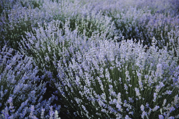 Цветы лаванды. лавандовое поле летом. украина