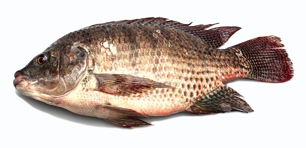 ティラピア魚、ティラピア、淡水魚、白背景