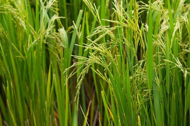 収穫の準備ができている米粒の緑豊かな田んぼ