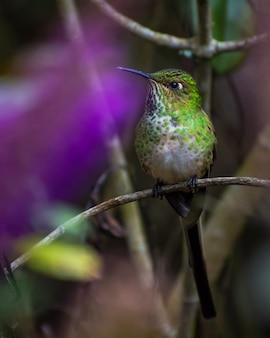 Длинный хвост колибри фиолетовый фон