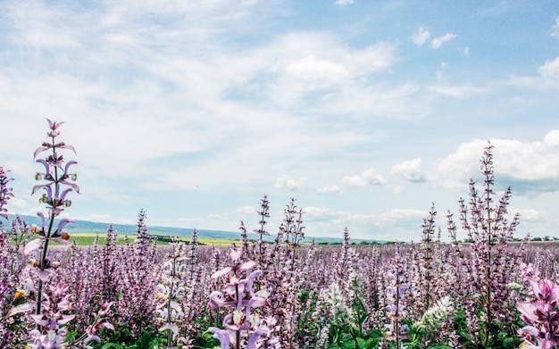 ピンクのセージと青い曇り空の風光明媚な夏の畑