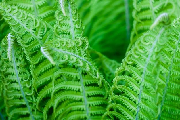 エキゾチックな新鮮なシダの葉の自然な背景