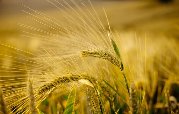 Конец макроса шипов вверх в пшеничном поле лета.