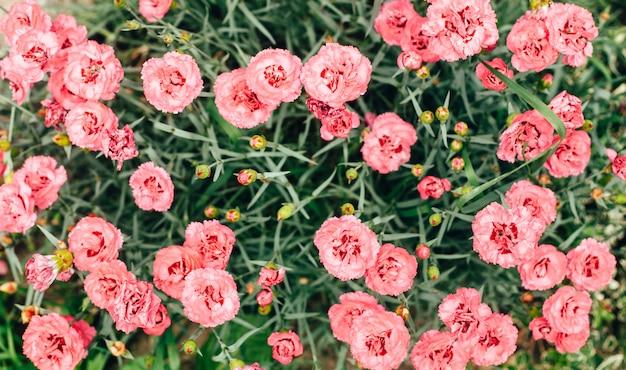美しいピンクのカーネーションの花は庭でクローズアップ