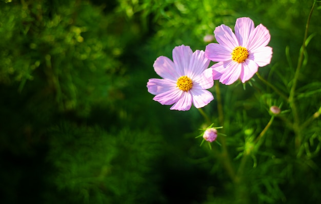 暖かい日光の下で夏のピンクと白の花のフィールド