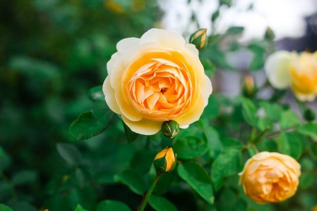 美しい黄色いバラは庭でクローズアップ