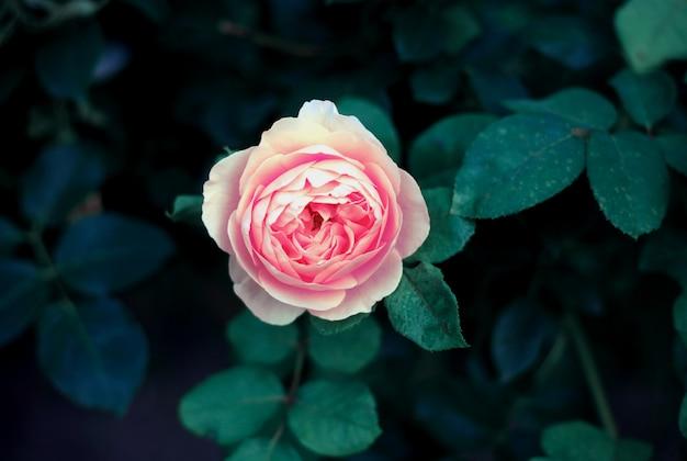 Красивая розовая роза крупным планом в саду, винтажные тонизирующие