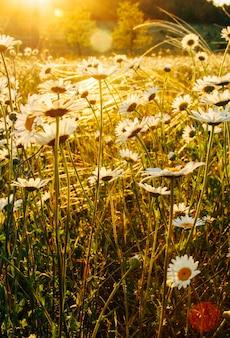 Прекрасные цветы ромашки цветут поле фон