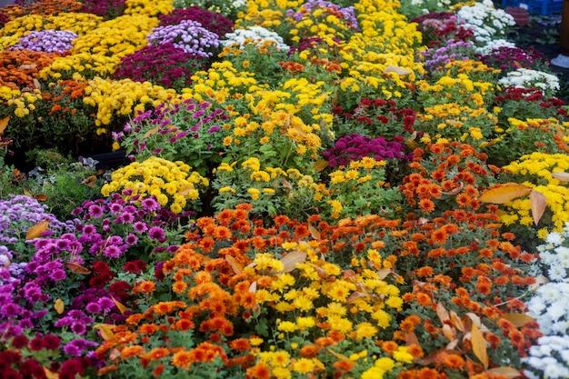 屋外のフラワーマーケットで活気に満ちたカラフルな秋の花。