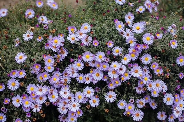 Фиолетовые осенние цветы крупным планом