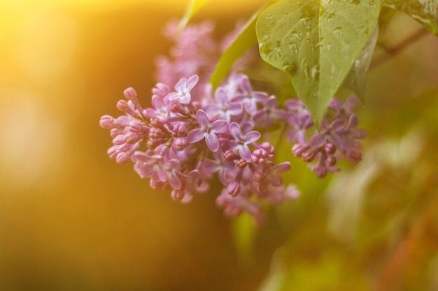 柔らかい暖かい太陽の光で背景をぼかした写真の紫色のライラック