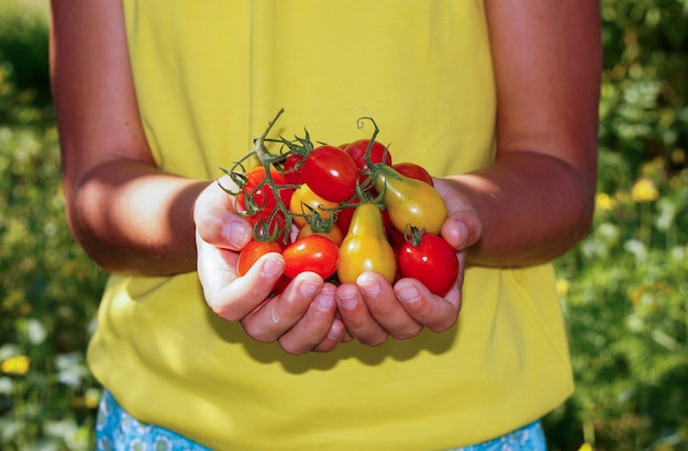 Девушка в саду собирает помидоры черри