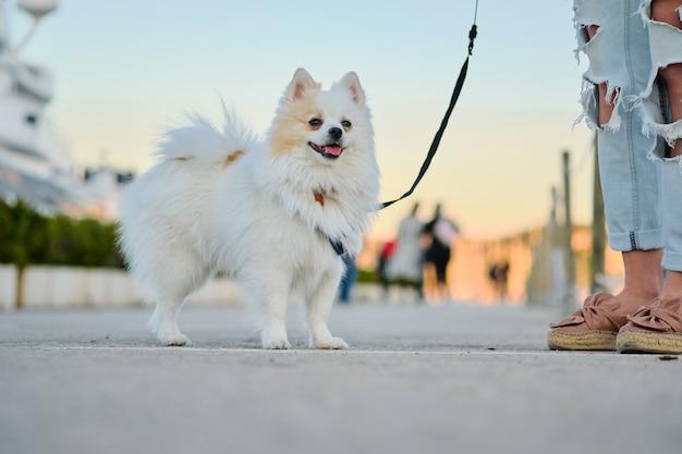 路上で野外を歩いている美しい白いポメラニアンスピッツ。