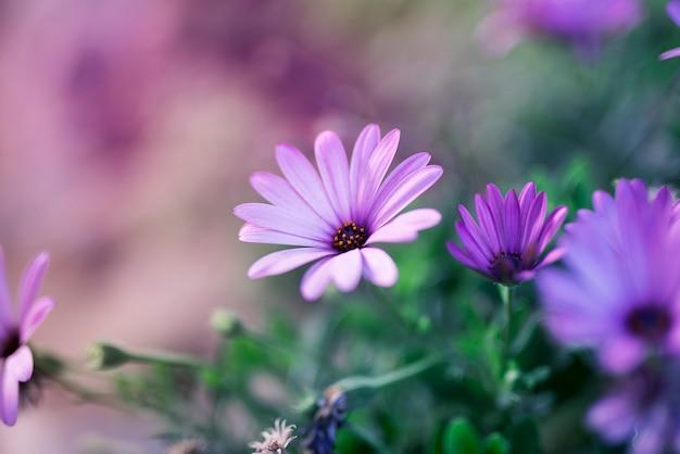 Фиолетовая ромашка в природе
