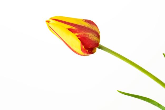 Тюльпан цветок. красный и желтый с зелеными листьями на белом фоне.