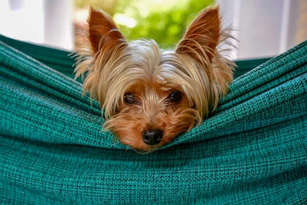 ハンモックで休んでかわいい小さなヨークシャー犬