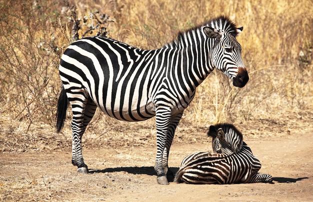 シマウマの母親と赤ちゃん