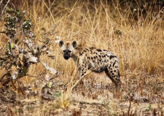アフリカのサバンナで斑点を付けられたハイエナ