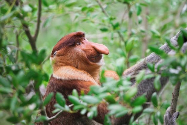 テング猿の長い鼻
